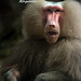 The King :: Hamadryas Baboon
