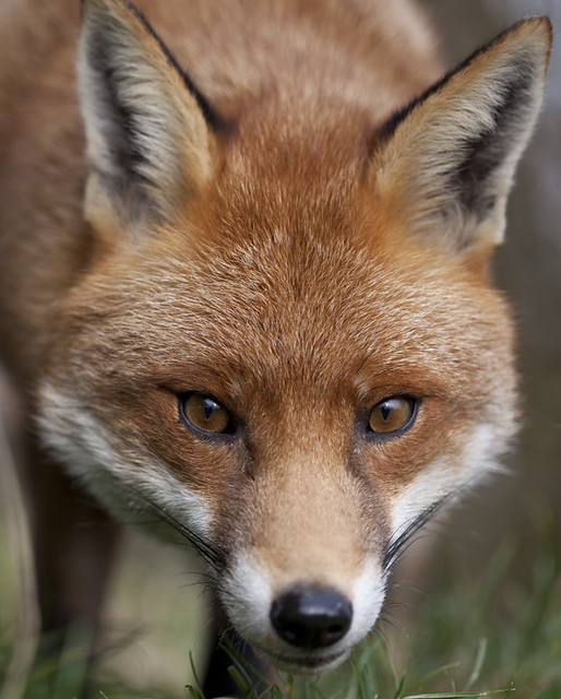 red fox face and - photo #49