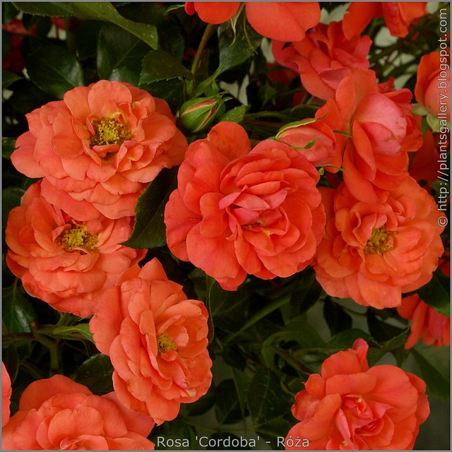 Rosa 'Cordoba' - Róża 'Cordoba'