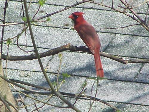 cardinal by Emilyannamarie