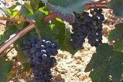 La vitivinicultura despierta grandes expectativas en La Paz