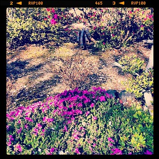 芝桜とツツジも咲きだした@自宅庭