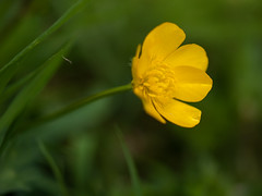 Buttercups - Photo of Fougerolles-du-Plessis