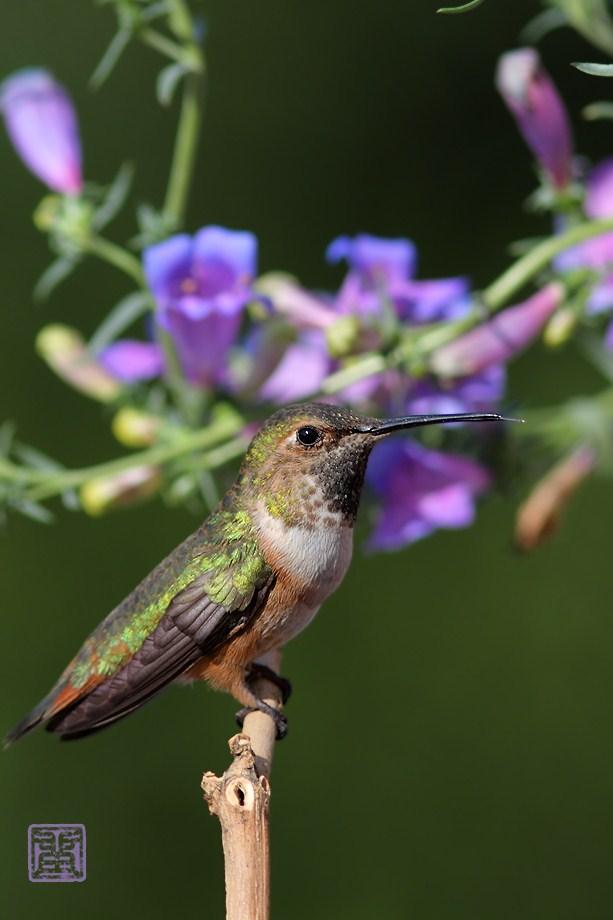 Allan's Hummingbird050212-2