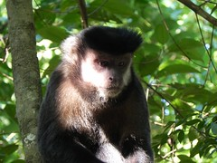 drill(0.0), white-headed capuchin(0.0), mandrill(0.0), macaque(0.0), animal(1.0), monkey(1.0), tufted capuchin(1.0), mammal(1.0), capuchin monkey(1.0), fauna(1.0), spider monkey(1.0), old world monkey(1.0), new world monkey(1.0), wildlife(1.0),