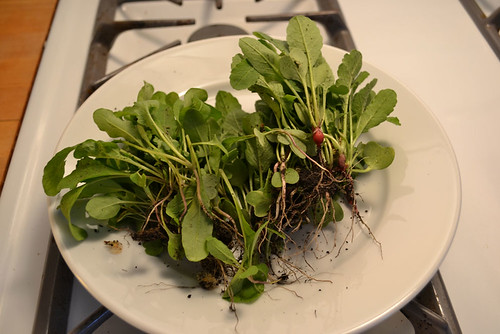 thinned arugula and radishes