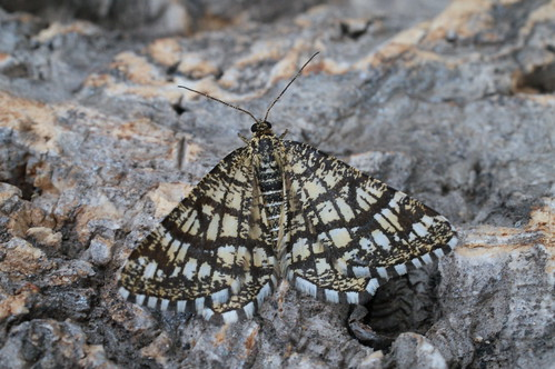 Latticed Heath (Chiasmia clathrata)