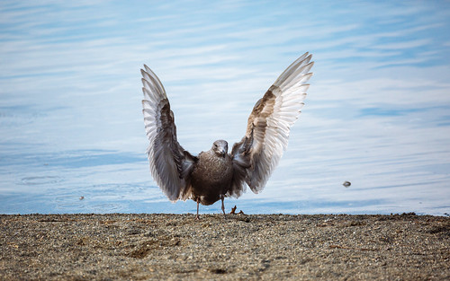 seagull bird wings shore water lakesammamishstatepark issquah pacificnorthwest nature canon wildlife canonef100400mmf4556lisusm canoneos5dmarkiii johnwestrock washington