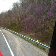 Red bud in Virginia
