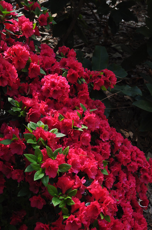 Rhododendron 'New Generation Red' 2 (1)