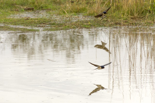 Swallows eating bugs