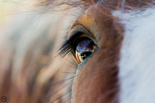 Clydesdale Closeup