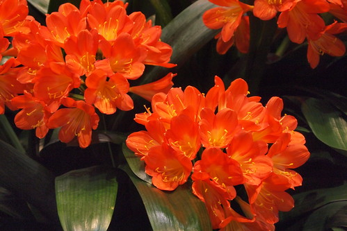 Clivia - nicer flowers than name