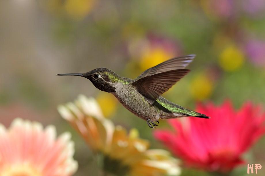 Anna's Hummingbird 031312