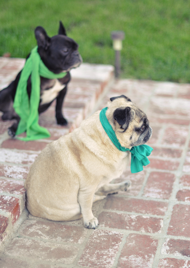 pug and french bulldog  in  scarves