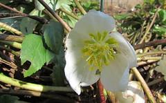 flower, plant, hellebore, flora,