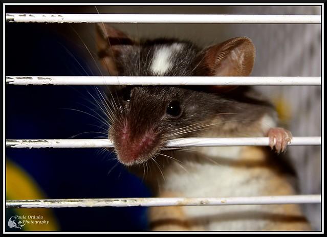 Doy en adopción a Pelusilla (ratón) en Elche, Alicante o Valencia 6853789889_28808b10af_z