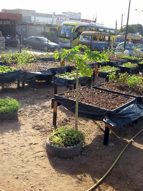 Papaya grown in urban garden in dakar senegal papayer for Jardin urbain
