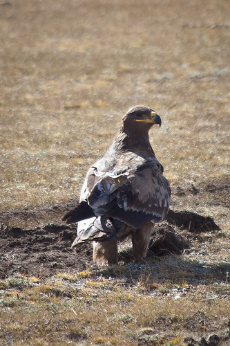 Eagle in the steppes