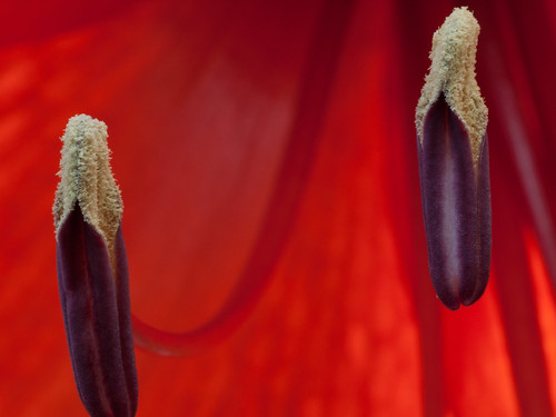 Stamen of an Amaryllis