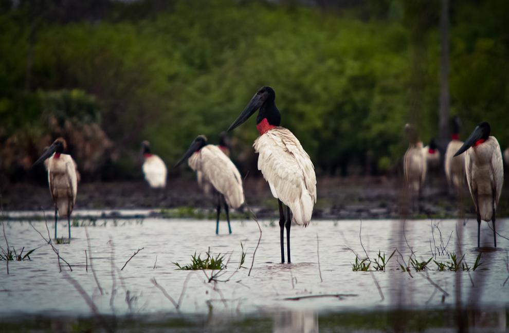 Ejemplares de Tuyuyu cuartelero (Jabiru mycteria) se encontraban a metros de la Ruta Transchaco, alimentándose en una laguna formada por las recientes lluvias. (Tetsu Espósito)