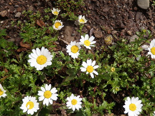 Flowers in March 2012 - Daisies