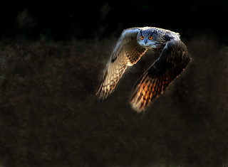 Flight Of The Eagle Owl