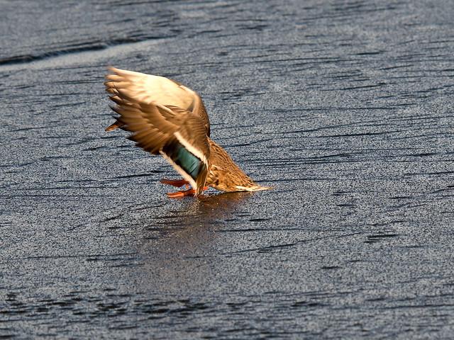 Sir Duck