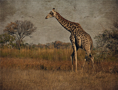 Giraffee in Botswana by jpbeth