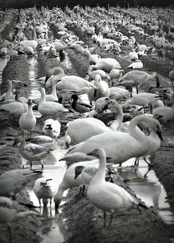 02-19-12 Swans, Ducks and Geese, Oh My! by roswellsgirl