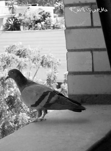 pigeon by ravi1030