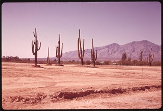 Piece of bulldozed desert on the edge of Tucson, Arizona. The saguaro cactus are left standing near what will be a housing development..., 04/1974