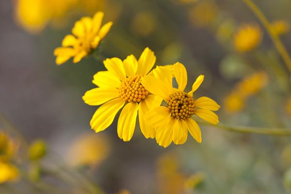 Desert Marigold, OrganPipe NM