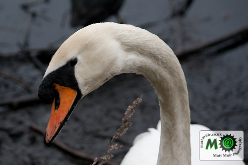 Photo ID 23 - mute swans, Newcastle, Rising sun country park by mattmuir.co.uk