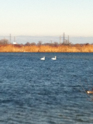Swans at Wm. Powers