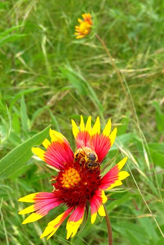 Bee feeding on Indian Blanket