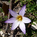 Small photo of Romulea bulbocodium - (Iridaceae)