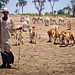 Livestock protection in Blue Nile - Sudan