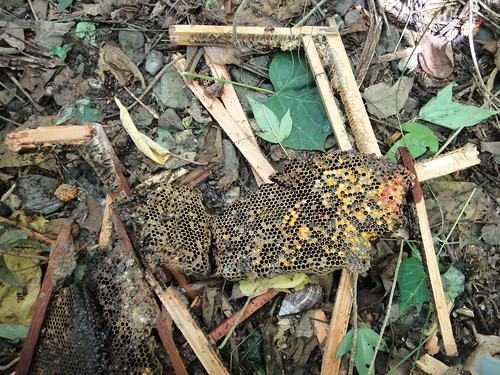 疑似遭黑熊破壞的蜂巢(台灣黑熊保育協會攝於去年七月台東縣海端鄉)