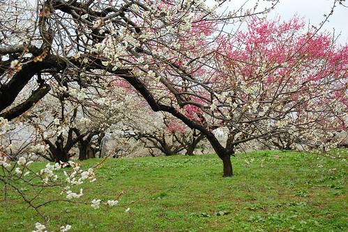 trees flower nature japan landscape plum 日本 miyagi tohoku 2012 梅 梅林 岩出山 osakishi 宮城県大崎市 佐藤農場