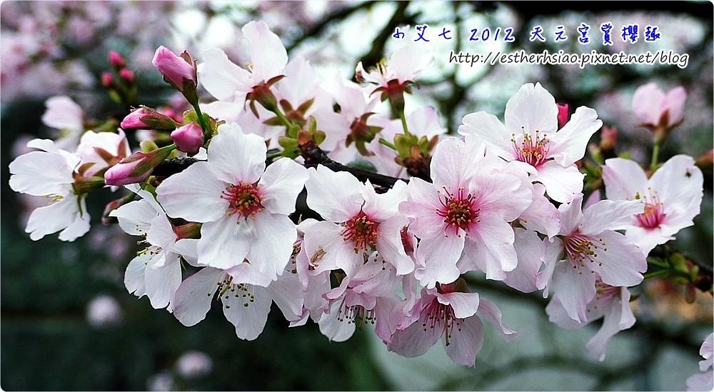 3 吉野櫻
