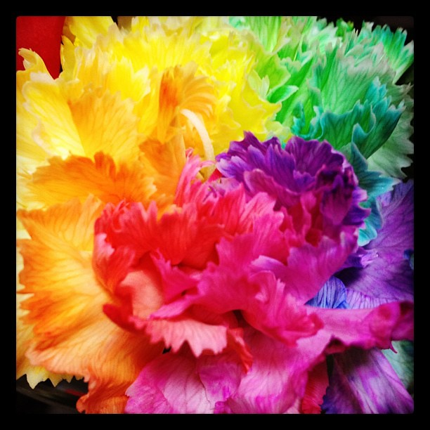 Rainbow Carnations Related Keywords - Rainbow Carnations ...