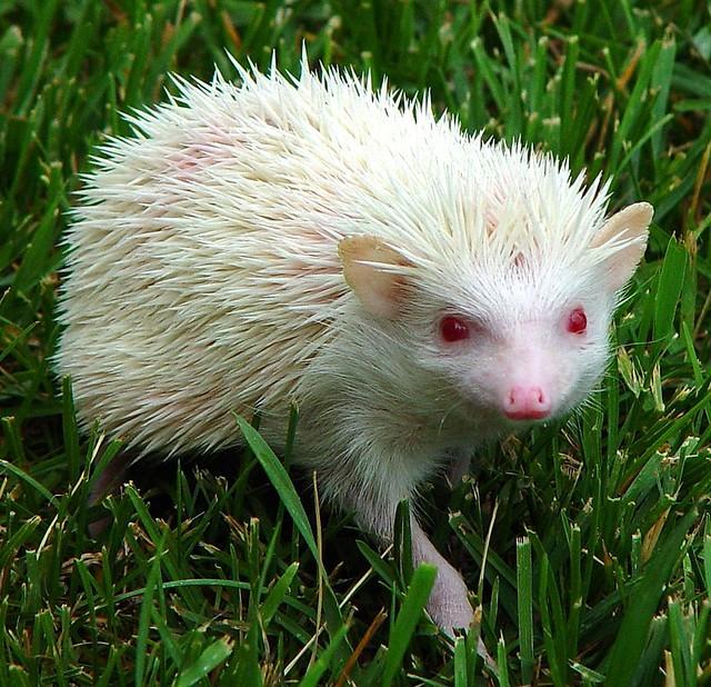 Albino African Pigmy Hedgehog | Flickr - Photo Sharing!