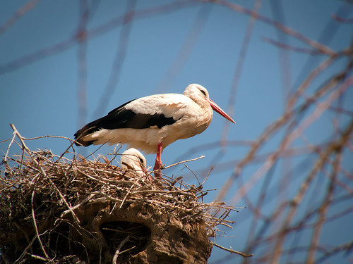 Más de 3.400 nidos de cigüeña se han mantenido en edificios privados durante los últimos 20 años