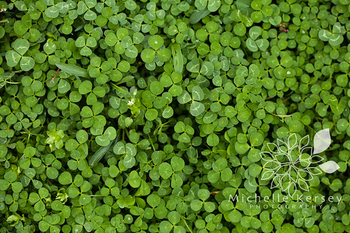Clover patch... where are the 4 leaf clovers?