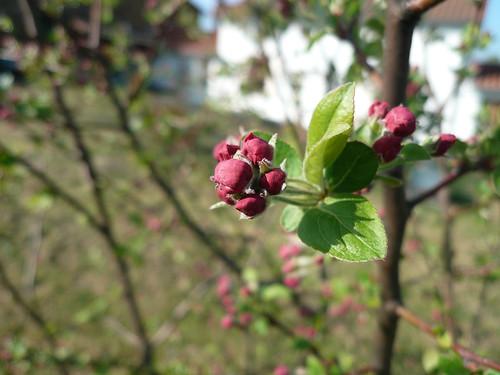 Apple blossom buds