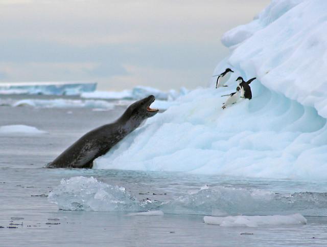 Leopard Seal Attack | Flickr - Photo Sharing!