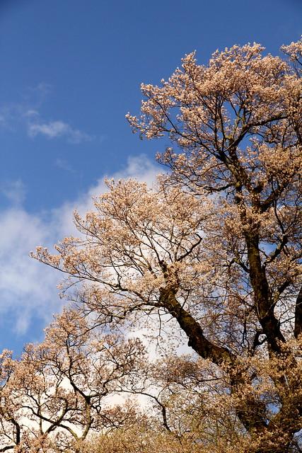 Hyotan Sakura_12