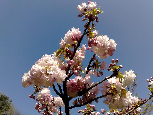 flori de cires roz din gradina japoneza din herastrau flickr photo sharing. Black Bedroom Furniture Sets. Home Design Ideas
