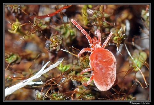 Trombidiidae